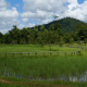 Rice fields, Siem Reap Province, Cambodia. Credit: Jose Hernández